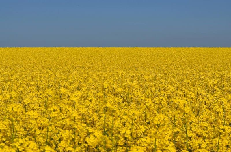 benefits of rapeseed oil