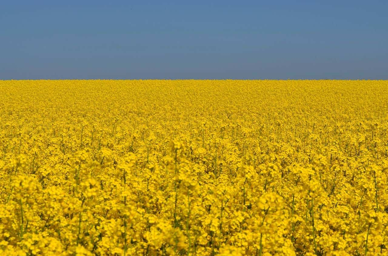 10 benefits of rapeseed oil