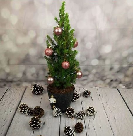 Real Mini Christmas Tree