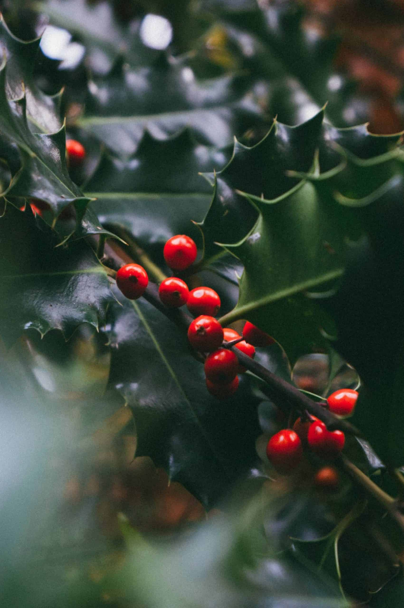 The history of Christmas plants