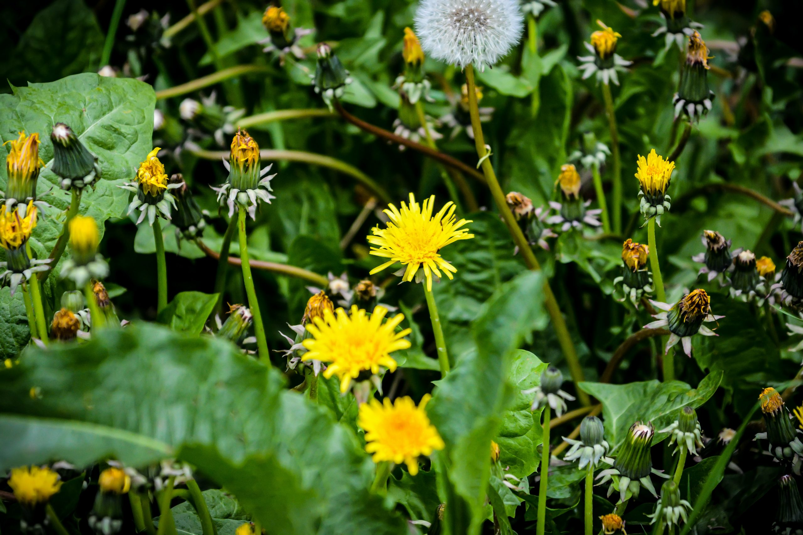 Dandelion Tea Benefits