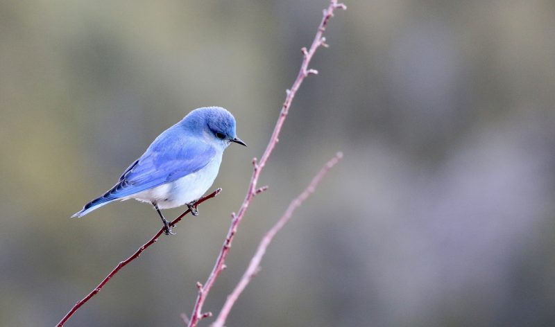 How to Successfully Attract Bluebirds to Your Yard