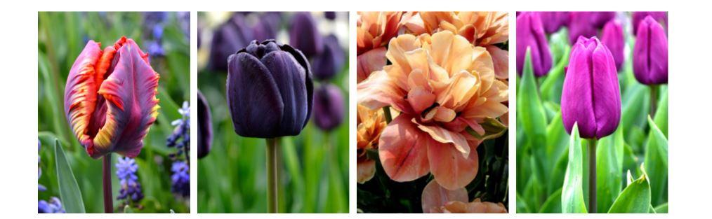 colourful spring bulbs